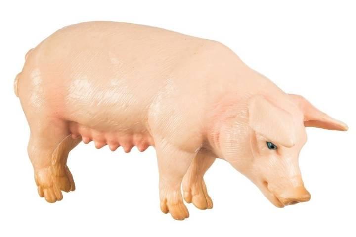 Świnia Samica
